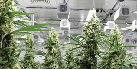 Marijuana Grow Rooms and Greenhouses